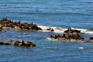 Seals at Cape Arago