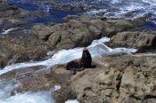 Seal at Cape Arago