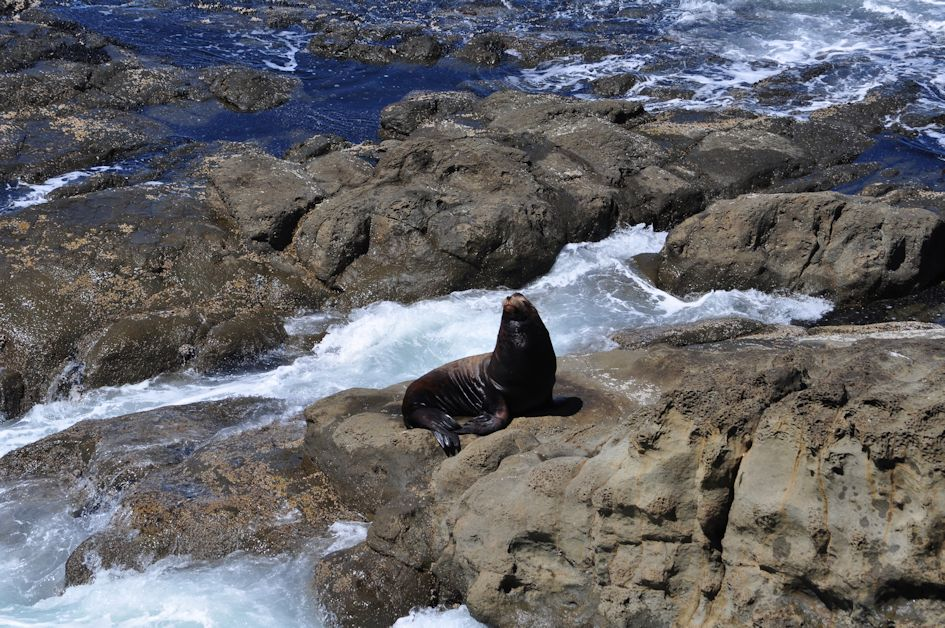 Seal at Cape Arago