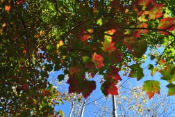 Pretty leaves at Acadia