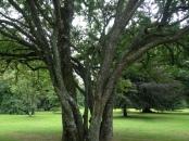 Tree at Blarney Castle