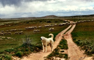Beware the Great Pyrenees